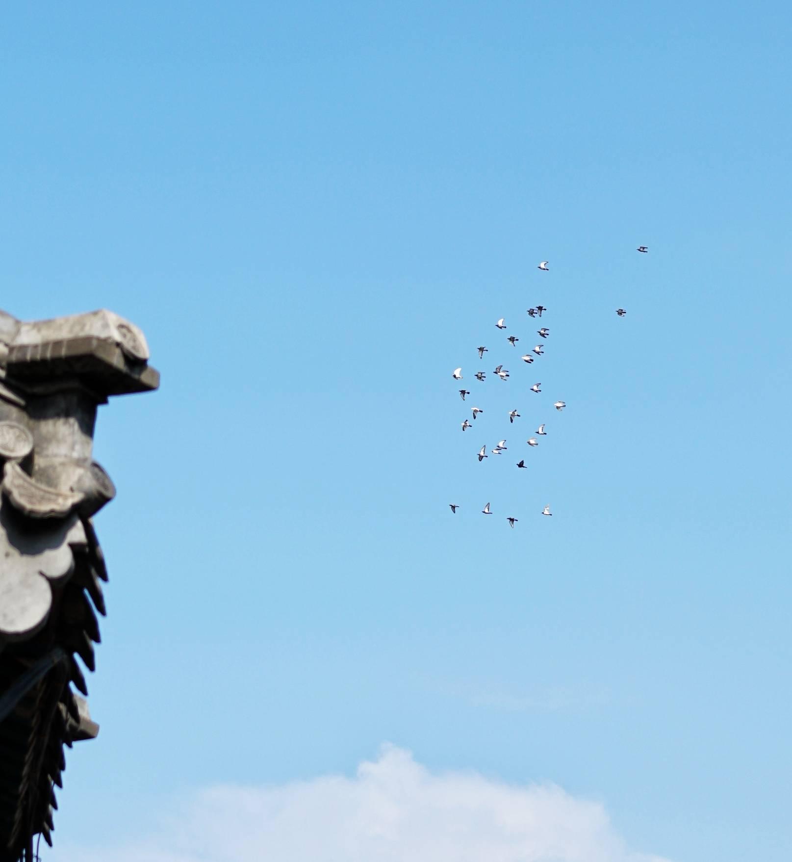 五道營衚衕天空飛過的群鳥